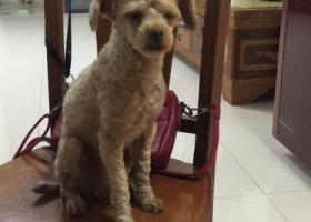 寻狗启示,4月22日在南宁市江南区星光大道捡到一只香槟色贵宾,它是一只非常可爱的宠物狗狗,希望它早日回家,不要变成流浪狗。