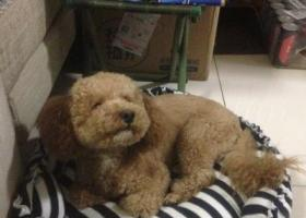 寻狗启示,西安市未央区凤城五路捡到泰迪一只,它是一只非常可爱的宠物狗狗,希望它早日回家,不要变成流浪狗。