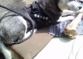 寻狗启示,4月24日晚淮阴区西坝公园附近走丢哈士奇一只,它是一只非常可爱的宠物狗狗,希望它早日回家,不要变成流浪狗。