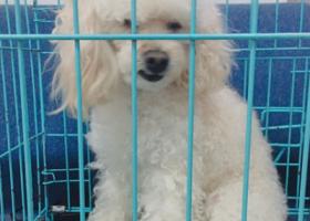 寻狗启示,谁家的贵宾宝宝丢了 速联系,它是一只非常可爱的宠物狗狗,希望它早日回家,不要变成流浪狗。