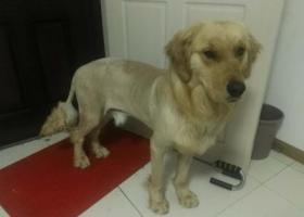 寻狗启示,李沧区政府附近捡到一只金毛,狮子样子装扮,求认领,它是一只非常可爱的宠物狗狗,希望它早日回家,不要变成流浪狗。