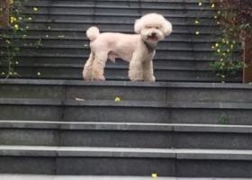 寻狗启示,泰迪 狗狗特征:微黄,接近白色,大耳朵短尾巴(颈上有绿色项圈),望好心人发现狗狗立即联我,它是一只非常可爱的宠物狗狗,希望它早日回家,不要变成流浪狗。