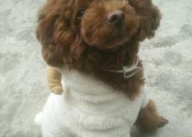 寻狗启示,顺德区北滘镇三桂村寻深棕色泰迪,它是一只非常可爱的宠物狗狗,希望它早日回家,不要变成流浪狗。