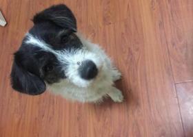 寻狗启示,中型边牧离家未归 知情者请联系,它是一只非常可爱的宠物狗狗,希望它早日回家,不要变成流浪狗。