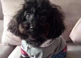 寻狗启示,无锡新区江溪街道朝阳新村丢失黑色泰迪,它是一只非常可爱的宠物狗狗,希望它早日回家,不要变成流浪狗。