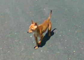 寻狗启示,请看到这只迷你型小狗的帮忙寻找联系我们,它是一只非常可爱的宠物狗狗,希望它早日回家,不要变成流浪狗。