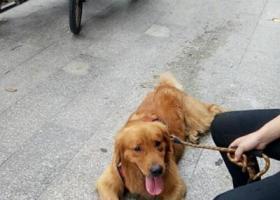 寻狗启示,东莞石排捡到一条金毛。,它是一只非常可爱的宠物狗狗,希望它早日回家,不要变成流浪狗。