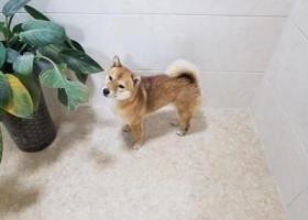 寻狗启示,2018.03.06在庄检路附近走失、长得像小狐狸.柴犬,它是一只非常可爱的宠物狗狗,希望它早日回家,不要变成流浪狗。