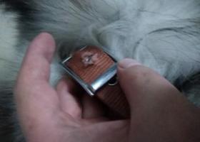 寻狗启示,白云区 石井 庆丰3路 捡到阿拉斯加,它是一只非常可爱的宠物狗狗,希望它早日回家,不要变成流浪狗。