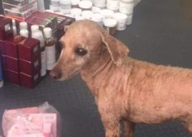 寻狗启示,寻狗启示。威海皇冠走丢一只全身剃毛的贵宾犬,它是一只非常可爱的宠物狗狗,希望它早日回家,不要变成流浪狗。
