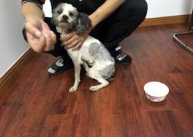 寻狗启示,上海宝山捡到花泰迪一只,它是一只非常可爱的宠物狗狗,希望它早日回家,不要变成流浪狗。