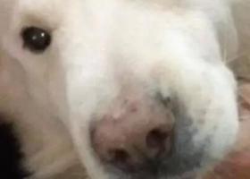 寻狗启示,寻狗养了十三年的爱犬丢失了,它是一只非常可爱的宠物狗狗,希望它早日回家,不要变成流浪狗。