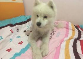 寻狗启示,沙坪坝 公萨摩耶 寻找其主人,它是一只非常可爱的宠物狗狗,希望它早日回家,不要变成流浪狗。