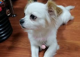 寻狗启示,急!晋江兴隆路寻找丢失小狗!!,它是一只非常可爱的宠物狗狗,希望它早日回家,不要变成流浪狗。