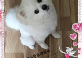 我家狗狗跑丢了,白色博美