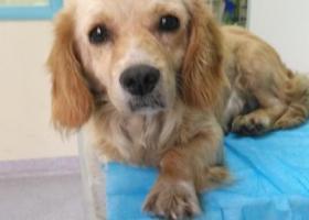寻狗启示,通州区拣到黄色可卡一只,它是一只非常可爱的宠物狗狗,希望它早日回家,不要变成流浪狗。