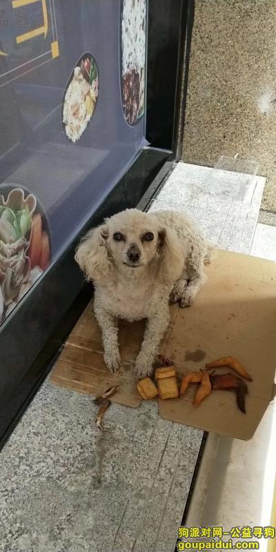 寻狗启示,捡到白色母性贵宾一只。,它是一只非常可爱的宠物狗狗,希望它早日回家,不要变成流浪狗。