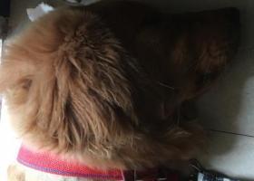 寻狗启示,莆田市城厢区叶氏门口捡到一只金毛。红色项圈剃过毛。有铃铛的  希望找到主人,它是一只非常可爱的宠物狗狗,希望它早日回家,不要变成流浪狗。