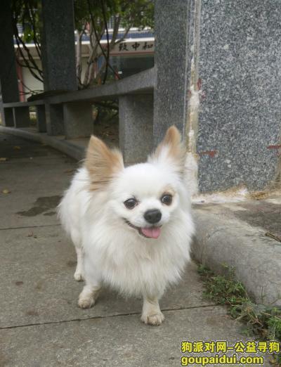 贺州寻狗网,寻找丢失白色小狗叮当,它是一只非常可爱的宠物狗狗,希望它早日回家,不要变成流浪狗。