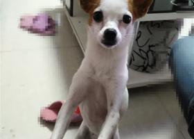 寻狗启示,安徽合肥-包河区京华世家小区内丢失一只白色吉娃娃,着急寻找,它是一只非常可爱的宠物狗狗,希望它早日回家,不要变成流浪狗。