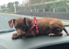寻狗启示,百安宜家红绿灯路口丢失一条小泰迪,它是一只非常可爱的宠物狗狗,希望它早日回家,不要变成流浪狗。