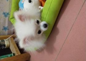 寻狗启示,[抱拳][抱拳][抱拳]白色博美犬-小宝,有捡到的请马上联系,必有重谢!18650003427。,它是一只非常可爱的宠物狗狗,希望它早日回家,不要变成流浪狗。