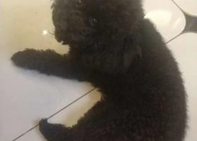 寻狗启示,4月30日晚,中韩车站附近一只黑色泰迪狗狗丢失,它是一只非常可爱的宠物狗狗,希望它早日回家,不要变成流浪狗。