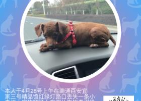 寻狗启示,寻找7个多月的小泰迪,它是一只非常可爱的宠物狗狗,希望它早日回家,不要变成流浪狗。