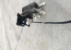 寻狗启示,公黑白阿拉斯加,成年,它是一只非常可爱的宠物狗狗,希望它早日回家,不要变成流浪狗。