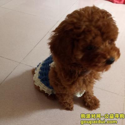 梅州找狗,在广东省梅州市梅江区剑英公园丢失一条棕色贵宾犬,求大家帮忙!,它是一只非常可爱的宠物狗狗,希望它早日回家,不要变成流浪狗。