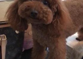 寻狗启示,在浙江省慈溪市金山菜场附近丢失的一条棕色母泰迪!,它是一只非常可爱的宠物狗狗,希望它早日回家,不要变成流浪狗。