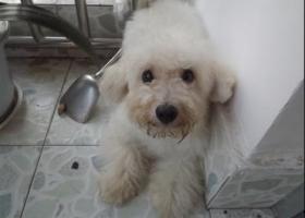 寻狗启示,青岛,八大关,比熊,小白狗,它是一只非常可爱的宠物狗狗,希望它早日回家,不要变成流浪狗。