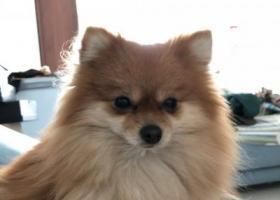 寻狗启示,温州重金寻狗,黄色博美,它是一只非常可爱的宠物狗狗,希望它早日回家,不要变成流浪狗。
