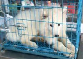 寻狗启示,萨摩耶,5.1节在城南新村走丢,它是一只非常可爱的宠物狗狗,希望它早日回家,不要变成流浪狗。