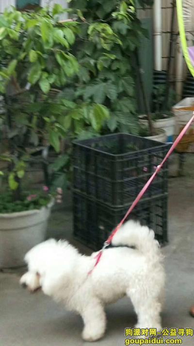 雅安寻狗启示,走失一只比熊,求助!,它是一只非常可爱的宠物狗狗,希望它早日回家,不要变成流浪狗。
