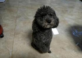 寻狗启示,寻找一直黑灰色的泰迪犬,它是一只非常可爱的宠物狗狗,希望它早日回家,不要变成流浪狗。