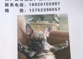 寻狗启示,寻狗启示,天津塘沽  虎斑色法牛  大头 哥哥等你回家,它是一只非常可爱的宠物狗狗,希望它早日回家,不要变成流浪狗。