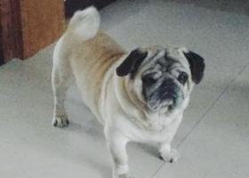 寻狗启示,重金寻爱犬,一只八岁八哥公狗,它是一只非常可爱的宠物狗狗,希望它早日回家,不要变成流浪狗。