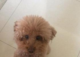 寻狗启示,寻狗棕色泰迪于滨湖区优乐宠物医院跑丢,它是一只非常可爱的宠物狗狗,希望它早日回家,不要变成流浪狗。