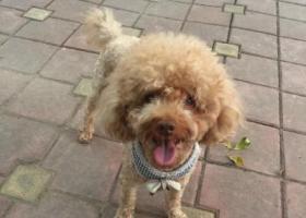 寻狗启示,名叫摩卡,泰迪,公狗,望好心人捡到归还,谢谢!,它是一只非常可爱的宠物狗狗,希望它早日回家,不要变成流浪狗。
