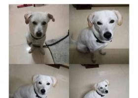 寻狗启示,东莞市东城区石井小区寻找白色狗狗,它是一只非常可爱的宠物狗狗,希望它早日回家,不要变成流浪狗。