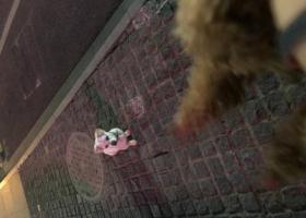寻狗启示,5月3日 我格广场捡到的 小白狗!,它是一只非常可爱的宠物狗狗,希望它早日回家,不要变成流浪狗。
