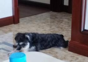 寻狗启示,杭州滨江区走失黑白雪纳瑞,主人焦急万分,酬金一万,求好心人帮忙,它是一只非常可爱的宠物狗狗,希望它早日回家,不要变成流浪狗。