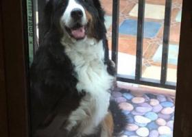 寻狗启示,松江区辰塔路英郡别苑西大门寻找伯恩山,它是一只非常可爱的宠物狗狗,希望它早日回家,不要变成流浪狗。