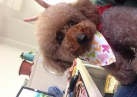 寻狗启示,南通港闸区幸福家苑丢了一只泰迪犬,它是一只非常可爱的宠物狗狗,希望它早日回家,不要变成流浪狗。