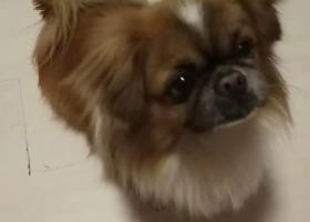寻狗启示,望好心人士帮我们找到家人,它是一只非常可爱的宠物狗狗,希望它早日回家,不要变成流浪狗。