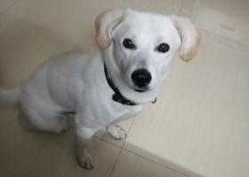 寻狗启示,东莞市东城区石井小区寻狗!重酬!,它是一只非常可爱的宠物狗狗,希望它早日回家,不要变成流浪狗。
