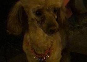 寻狗启示,杭州市肯山西路皋塘西一区酬谢一万元寻找泰迪,它是一只非常可爱的宠物狗狗,希望它早日回家,不要变成流浪狗。