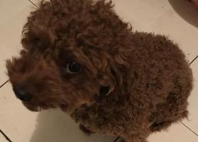 寻狗启示,3000元找我的泰迪,它是一只非常可爱的宠物狗狗,希望它早日回家,不要变成流浪狗。