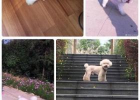 寻狗启示,寻找大头儿子(春春)酬金10000,它是一只非常可爱的宠物狗狗,希望它早日回家,不要变成流浪狗。